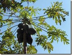garden-papaya