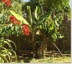 garden-bananas1