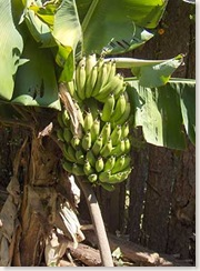 garden-bananas2