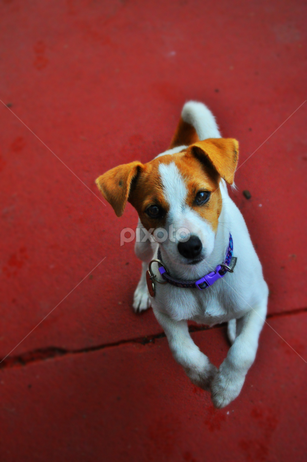 Begging by Carley Reed - Animals - Dogs Portraits ( love, beg, puppy, dog, cute, trick )