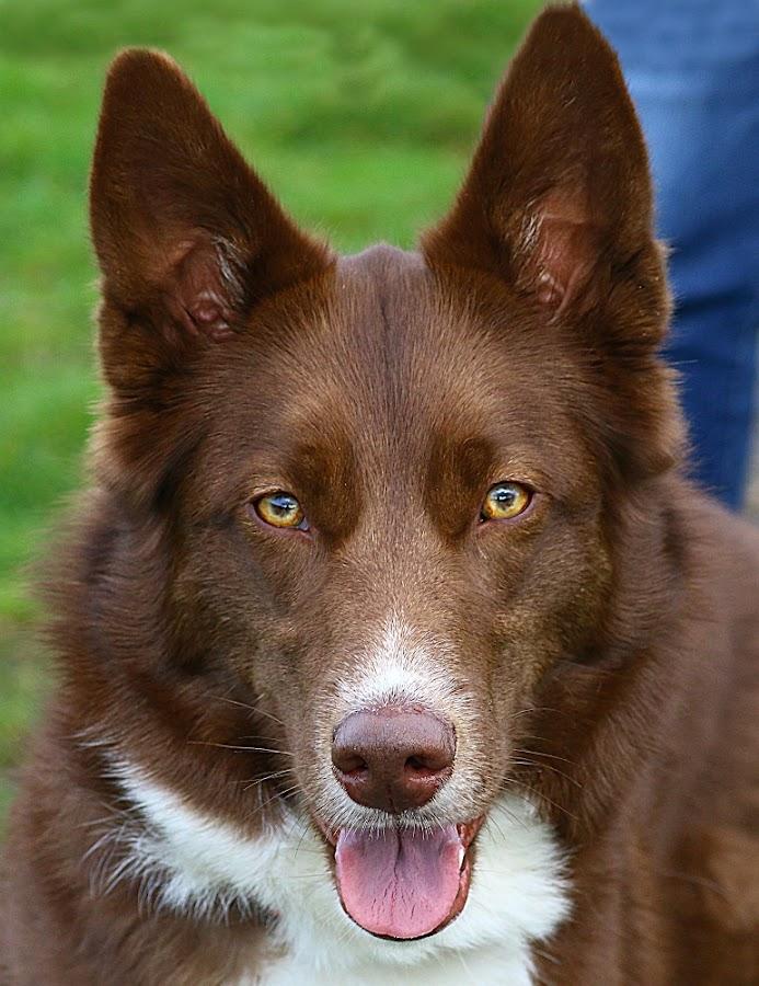 Radley by Chrissie Barrow - Animals - Dogs Portraits ( tongue, female, pet, white, fur, ears, collie/husky cross, dog, nose, tan, portrait, eyes )