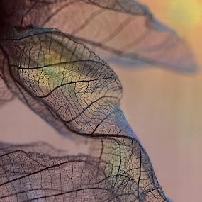 Leaf Skeletons by Ceri Jones - Nature Up Close Other Natural Objects ( dried, dty, vwins, skeleton, leaf, ;eaves )