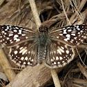 Tropical checkered skipper (female)