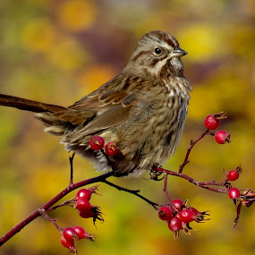 Song Sparrow in the Fall by Nick Swan - Animals Birds ( bird, nature, autumn, fall, song sparrow, wildlife )