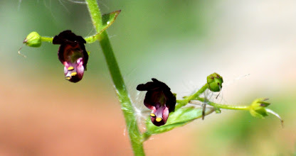 Photo: Scrophularia peregrina L., (Scrophulariaceae), Nettle-leaved Figwort