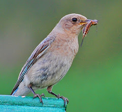 Photo: Female Mountain Bluebird