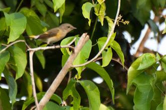 Photo: American Redstart, female (Schnäpperwaldsänger);Bacalar, QROO