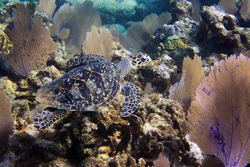 A sea turtle glides through the coral reef of Roatan, Honduras, just steps from the beach.