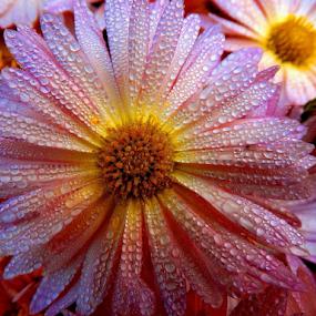 Dew on petals by Gautam Tarafder - Flowers Single Flower (  )