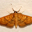 Obscure Psara moth