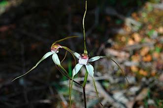 Photo: Caladenia longicauda ssp eminens