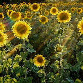 Helianthus by Atti Maguran - Nature Up Close Other plants ( light rays, sonnenblumen, sun flowers )