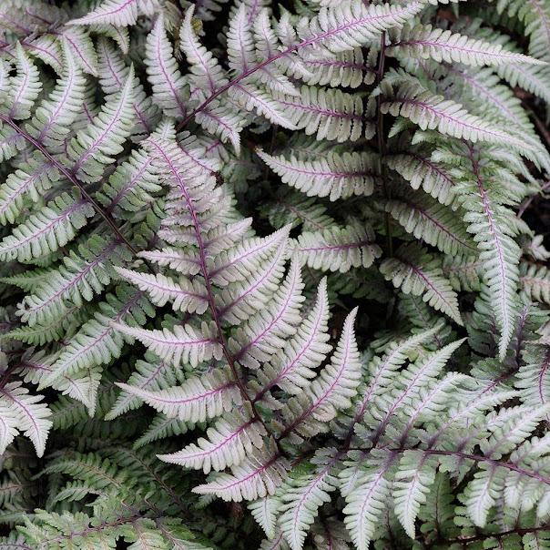 Helecho introducido en los jardines verticales