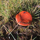 Orange Milk Cap
