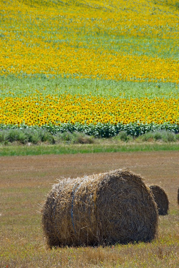 Harvest by Paul Atkinson - Landscapes Prairies, Meadows & Fields ( bale, straw, hay, sunflower, france, harvest, rural, filed,  )