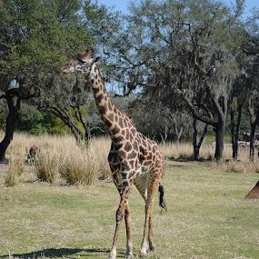 Giraffe by Cassandra Gwan - Animals Other Mammals