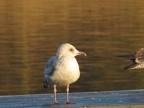 Photo: Priorslee Lake This might be an immature Yellow-legged Gull, with the bill looking rather long and thin: this is as close as I got. (Ed Wilson)