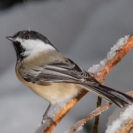 Chickadee in the Snow by Chris Cavallo - Animals Birds ( maine, snow, bird, winter, black and white, branches, chickadee )