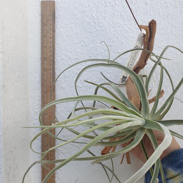 Tillandsia Streptocarpa Large Form