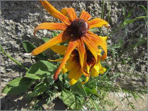 Photo: Bulgări de soare (Rudbeckia)  - din Turda, Str. Salinelor - 2019.07.27