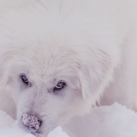 Maremma / Great Pyrenees pup by Denise Johnson - Animals - Dogs Puppies ( maremma sheepdog, artist, winter, photo, artwork, sheepdog, puppies, photos, photographers, photograph, white, photographs, puppy, snow, photographer, great pyrenees, arts, photography, pet,  )
