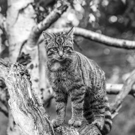 Cat by Garry Chisholm - Black & White Animals ( mammal, nature, scottish, wildcat, garry chisholm )