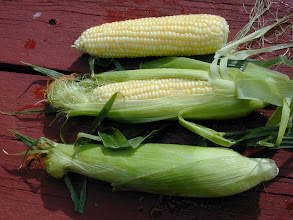 Photo: Corn, or maize, is clearly a New World domesticate that was critical in many agricultural populations in the New World. There is a lot of research into its origins .  It has been suggested (by a few) that maize was selected as much for its sweet stalk juice (fermentable) as for the kernal size.  http://www.anthro.fsu.edu/pdf/Pohl_et_al_PNAS_2007.pdf.