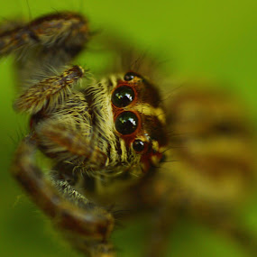 Lil Jumper by Yogesh Kumar - Animals Insects & Spiders ( ring, macro, green, little, jumper )