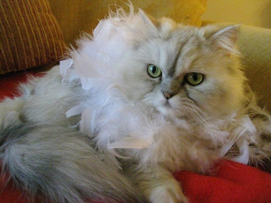 Glamour Girl by Ann Carper - Animals - Cats Portraits ( glamour, cats, prada, pets,  )