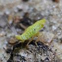 Tropiduchid Planthopper