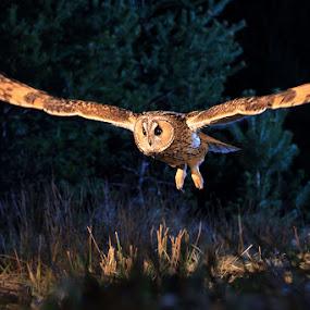 Long eared owl by Matej Vranič - Animals Birds ( flying, owl, long eared owl, night, asio otus )