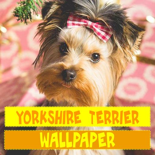 Fond D Ecran De Chien Yorkshire Terrier Applications Sur