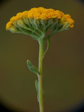 Photo: Achillea ageratum