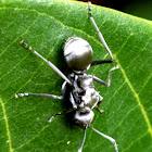 Grayish silver Ant