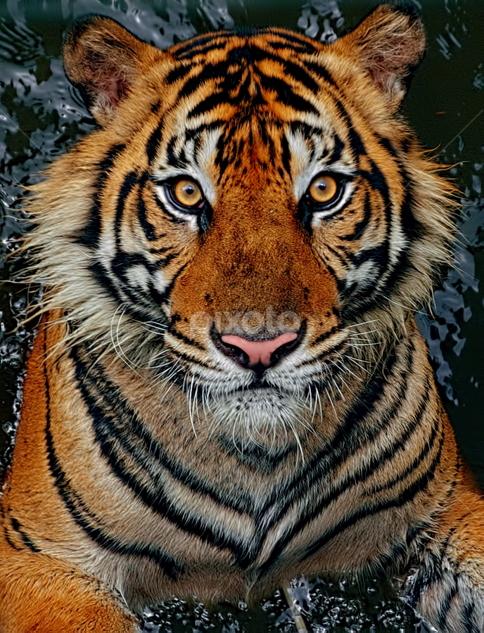 Tiger Sumatera by Ubayoedin As Syam - Animals Lions, Tigers & Big Cats (  )