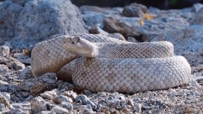 Rattleless Rattlesnake thumbnail