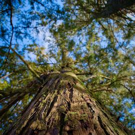 Cedar by Bryant Mountjoy - Nature Up Close Trees & Bushes ( sky, cedar, green, blue, tree, up, tall )