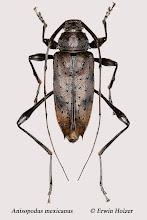 Photo: Anisopodus mexicanus (2), 18 mm, Costa Rica, Corcovado NP (08°27´/-83°29´), leg. Erwin Holzer, det. Herbert Schmid
