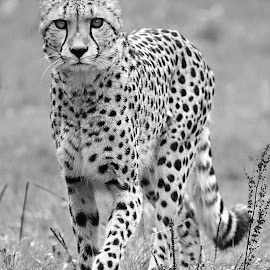 La marche du guépard by Gérard CHATENET - Black & White Animals