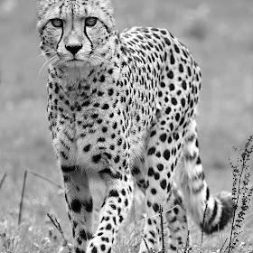 La marche du guépard.jpg