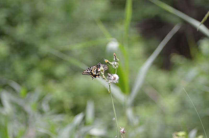 Photo: アゲハチョウ 少し遠すぎました。