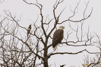 Photo: Bald eagle and anxious magpie