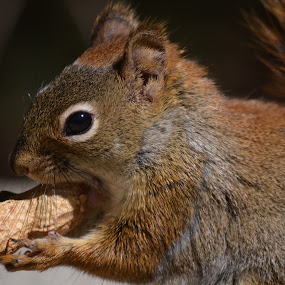 squirrel  by Char Robertson - Animals Other ( peanut, critter, brown, cute, squirrel )