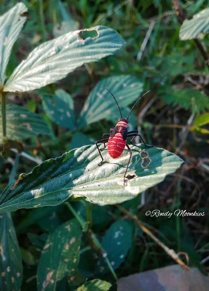 Red Eyes Leaf Footed Bug Nymph