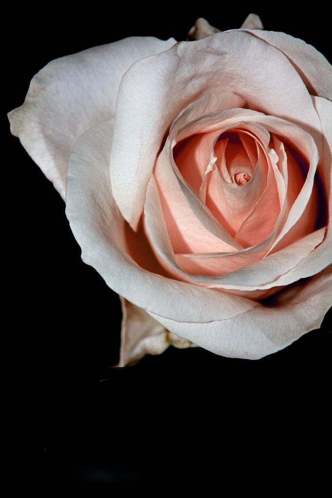Rose di driveinsaturday
