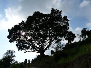 Photo: Le pipal, arbre majestueux que l'on rencontre fréquemment dans les basses vallées. Sacré pour les bouddhistes, son ombre hospitalière constitue suvent un lieu de rencontre dans les villages ou de halte dans les collines.