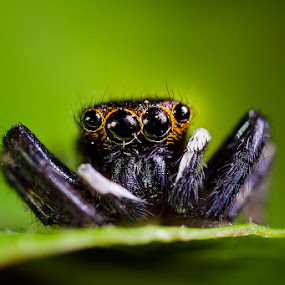 spider by Nur Kadri - Animals Insects & Spiders