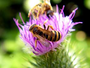 Photo: Halictus scabiosae femelle