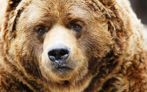 Bear HD Live Wallpaper Animals