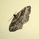 Bent-line Carpet Moth female